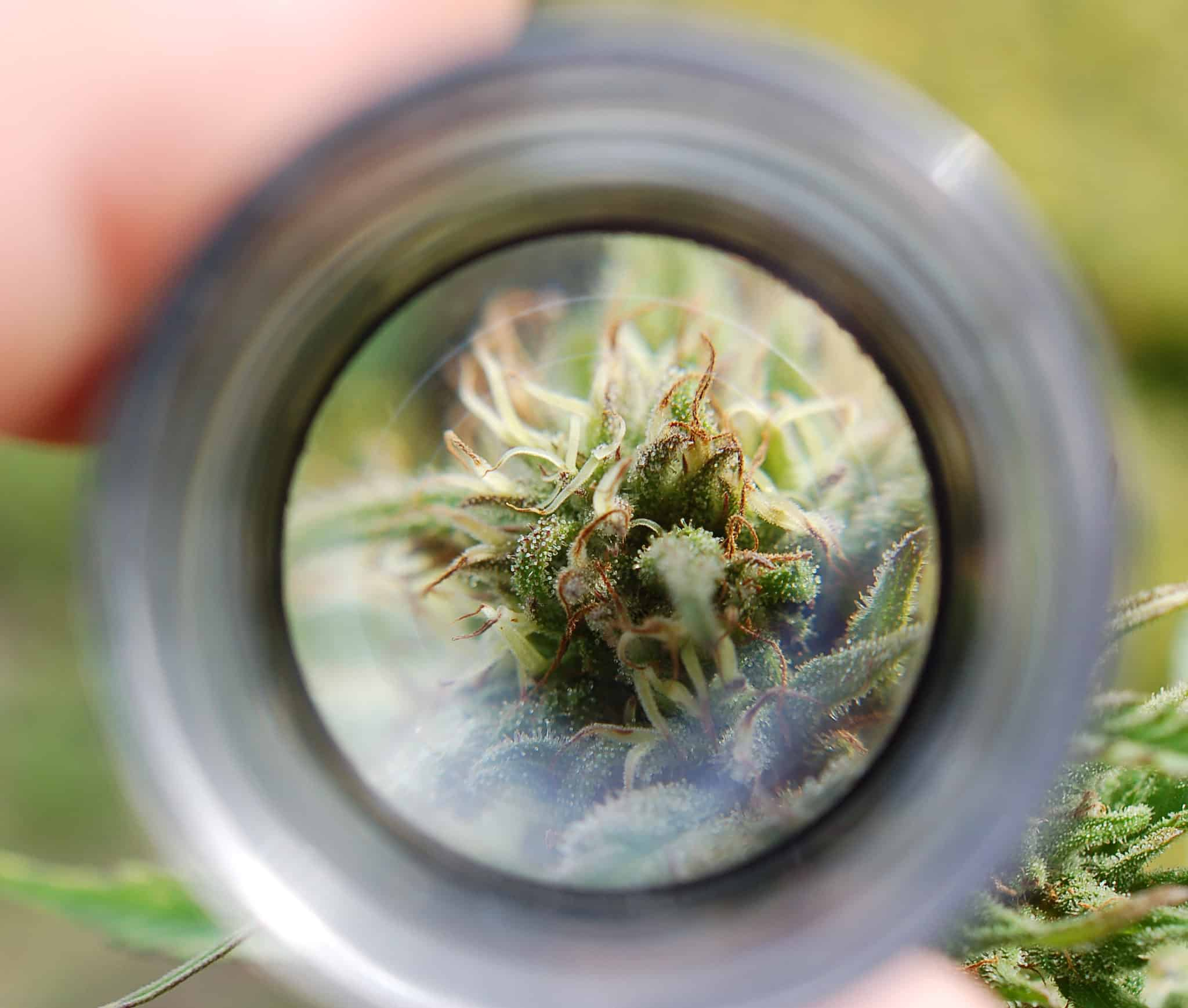 Loupe cannabis