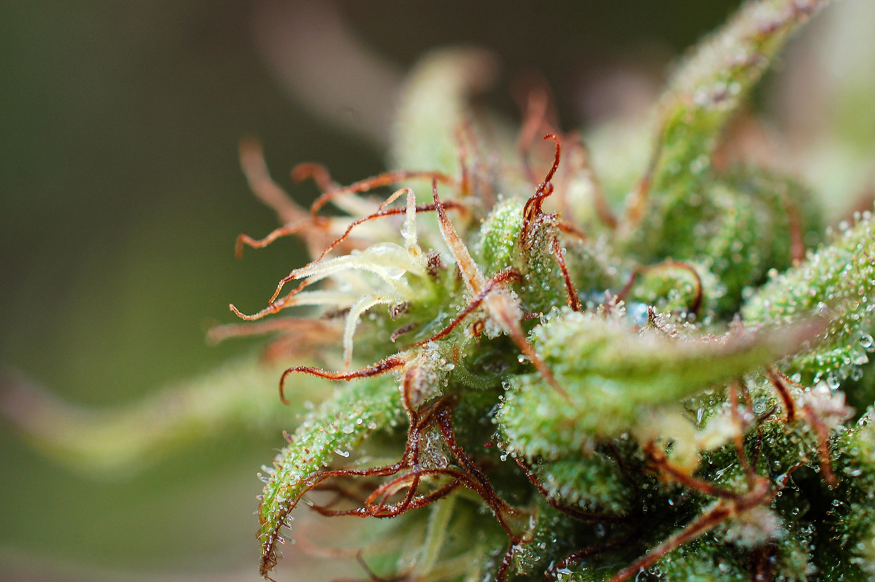 pistils fleurs de cannabis